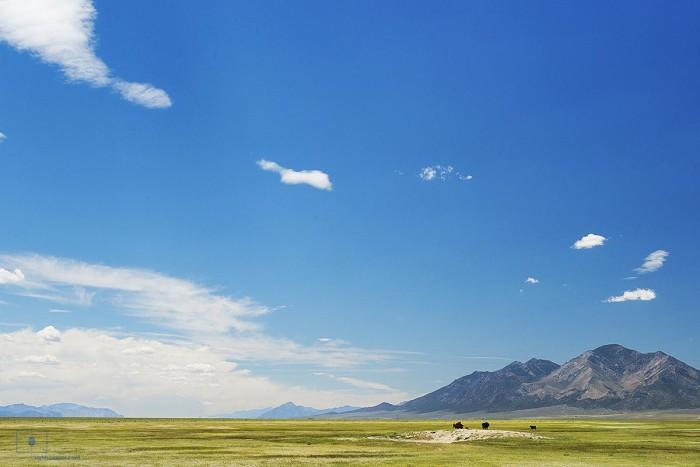 Cattle Grazing on the Range, Cherry Creek, Nevada