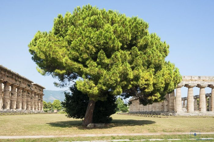 Stone Pine Tree with the First and Second Temples of Hera at Paestum, Campania, Italy